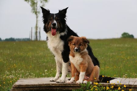 Border collie with one puppy is sitting in the garden