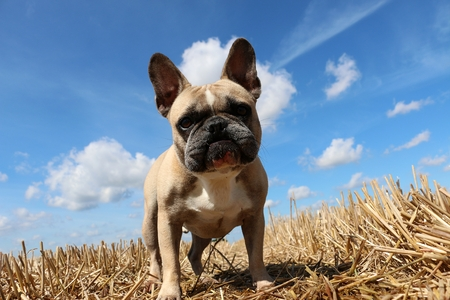 French bulldog is standing in a stubble field