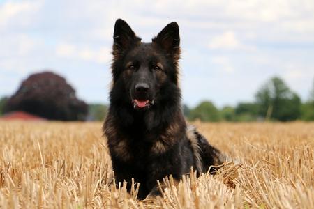 german shepherd is lying on a stubble field Stock Photo