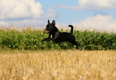 little flying mixed dog on a stubble field