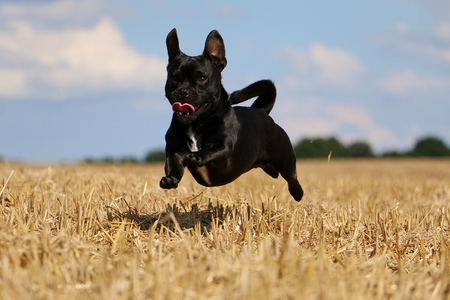 little mixed dog is flying over a stubble field