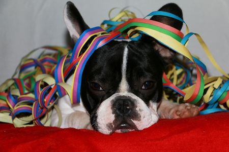 French bulldog is lying in the studio with colorful paper streamers Stock Photo