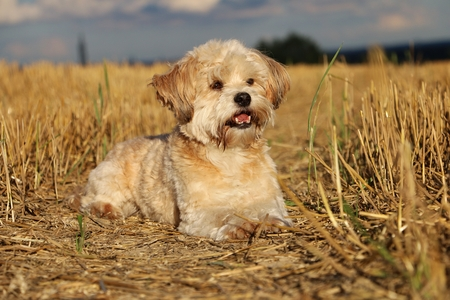 Mixed dog is lying in a stubble field