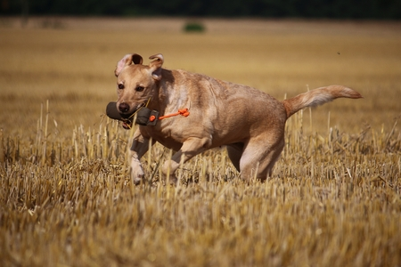 labrador has fun with a dummy on the stubble field Stock Photo