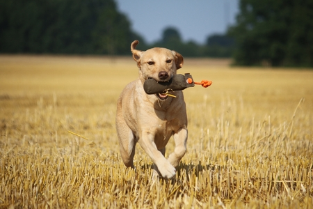 labrador is running on a stubble field with a dummy in his mouth