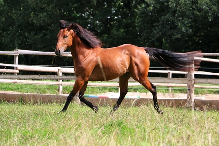Brown horse is running on a paddock Stock Photo