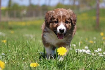 brown border collie puppy is walking in the garden