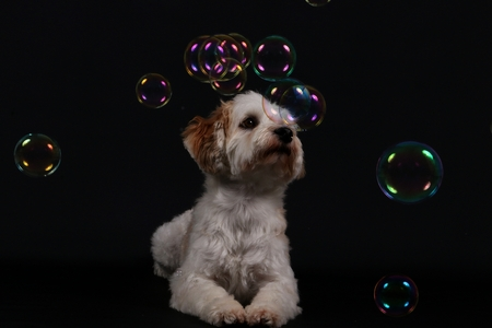 little havanese is lying in the studio and watching flying bubbles