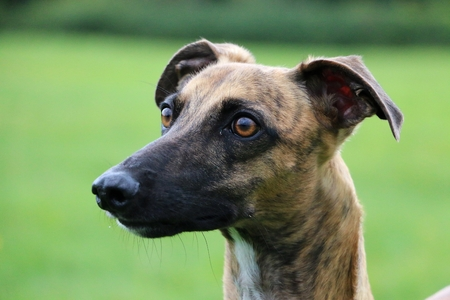 brindle whippet portrait Stock Photo