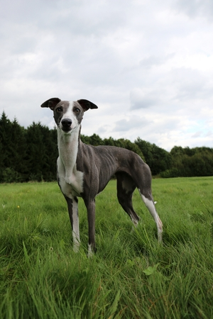 beautiful whippet is standing in the park