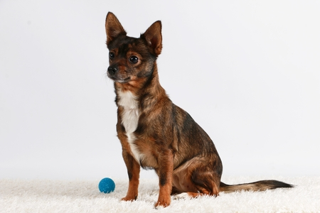 Small mixed dog is sitting on a carpet in the studio with a small ball