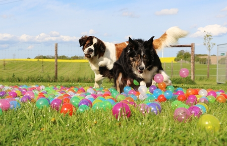 dogs have fun in the garden with colorful balls