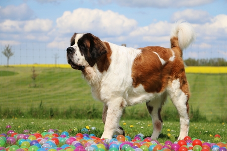 Saint Bernard is standing in the garden with colorful balls