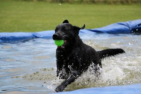 black labrador have fun in the pool