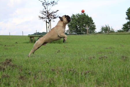 French bulldog is playing with a ball in the garden Stock Photo