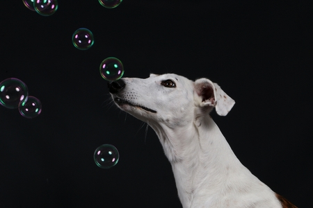 galgo is looking up to flying bubbles