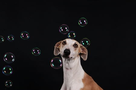 galgo is looking at the flying bubbles