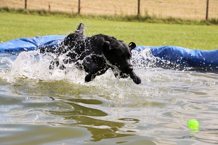 black labrador have fun in the pool