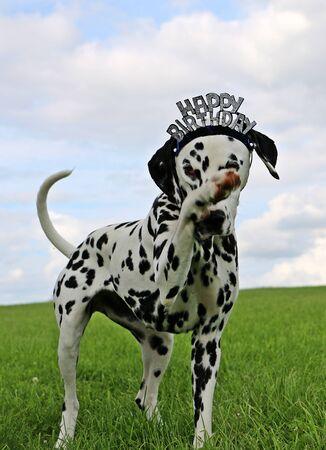 funny birthday dalmatian dog in the garden