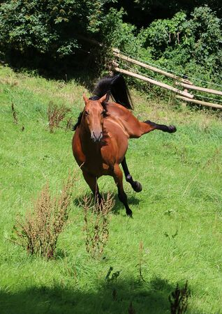 quarter horse: funny active brown horse on the paddock