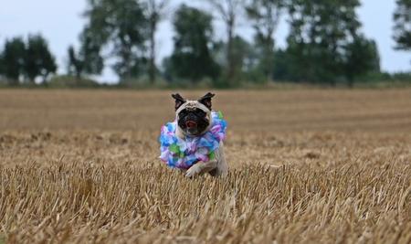 humor: little pug is running on a stubble field Stock Photo