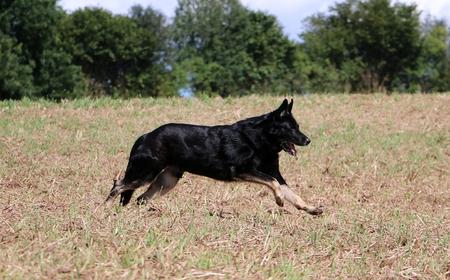 german shepherd is running on a stubble field