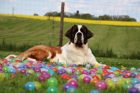 saint bernard is lying in colored balls in the garden
