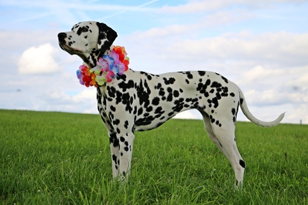 park: dalmatian dog is standing in the garden with colorful deco around the neck Stock Photo