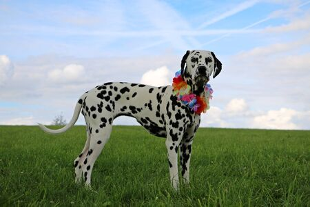dalmatian dog is standing in the garden with colorful deco around the neck Stock Photo