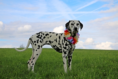 dalmatian dog is standing in the park with colorful deco around the neck