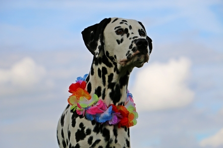 park: dalmatian dog with colorful flowers around the neck