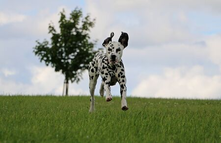 dalmatian dog is running in the park