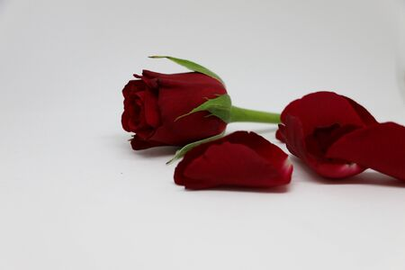 bright: red rose with loose leafs in the studio