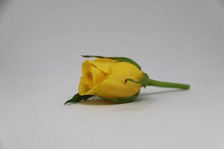 bright: yellow rose lying in the studio