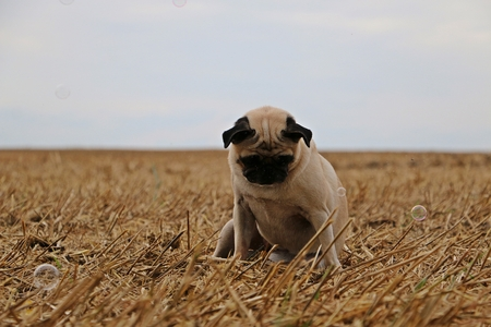 little pug is sitting on a stubble stubble