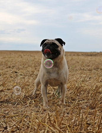 little pug is standing on a stubble field and looking up to flying bubbles Stock Photo
