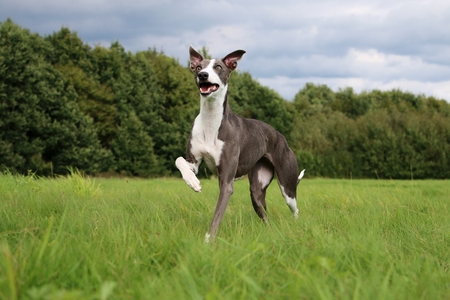 greyhound: gray whippet is walking in the park