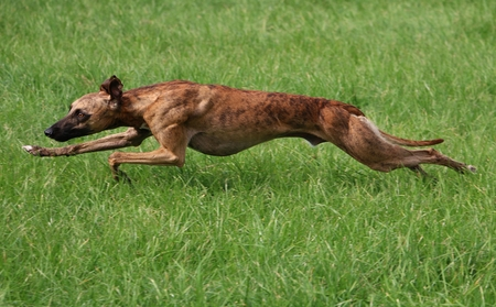 whippet is running in the park