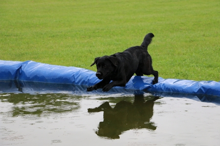 Black labrador is jumping into the pool