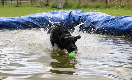 Black labrador makes a pool party Stock Photo
