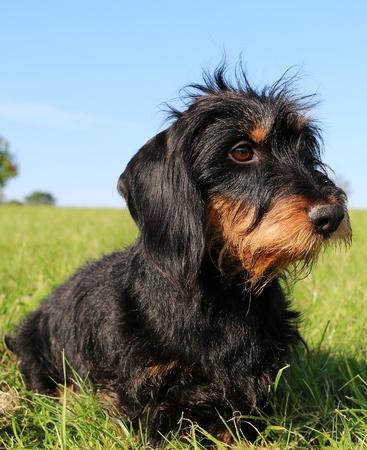 haired dachshound portrait in the park