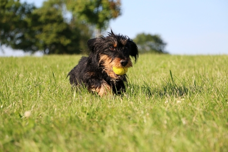 haired dachshound is running with a ball in the mouth in the park