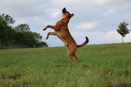 jumping brown mixed dog in the park Stock Photo