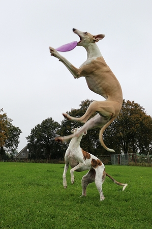 Two funny galgos playing in the garden with a frisbee