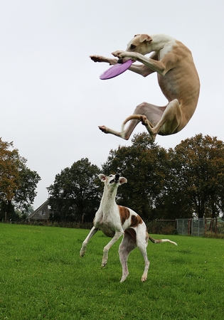 greyhound: two funny galgos playing in the garden with a frisbee