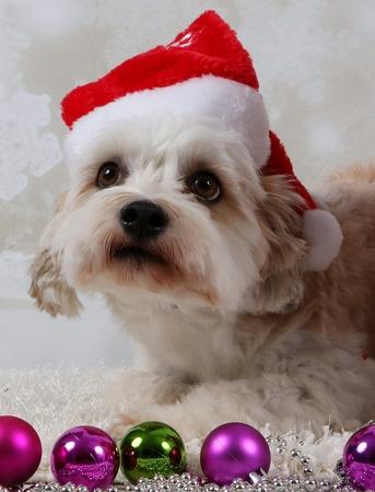 little christmas dog in the studio Stock Photo