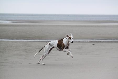 galgo corre in spiaggia