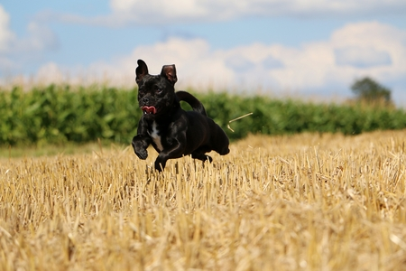 Little mixed dog is flying over a stubble field in the sunshine