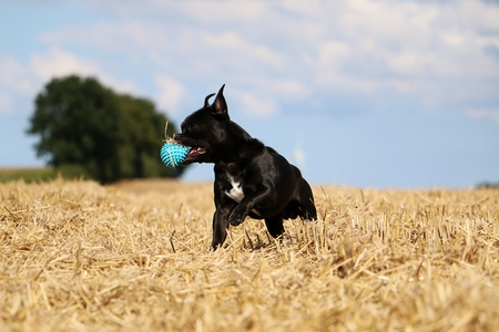 little mixed dog is playing with a ball on the stubble field