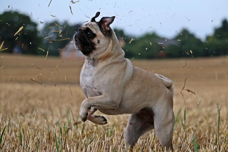 Little dog is jumping on a stubble field